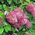 Late Hydrangea Flower by Elizabeth Dow