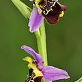 Late Spider Orchid Switzerland by Thomas Marent