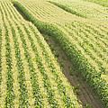 Late Summer Corn Field In Maine by Keith Webber Jr
