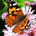 Late Summer Painted Lady by Marilyn Hunt