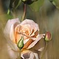 Late Summer Rose by Albert Seger