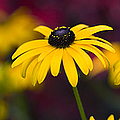 Late Summer Rudbeckia  by Tim Gainey
