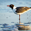 Laughing Gull On The Beach At Fort Clinch State Park Florida  by Dawna Moore Photography