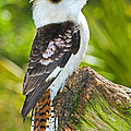 Laughing Kookaburra by Millard H. Sharp