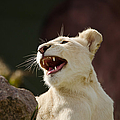 Laughing Lioness by Les Palenik