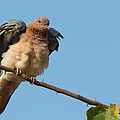 Laughing Palm Dove Fluffing Feathers by Dave Montreuil