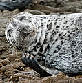 Laughing Seal by Greg Nyquist