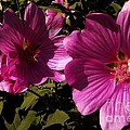 Lavatera - A Study In Pink by Martin Howard