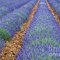 Lavendel 2 by Arterra Picture Library