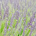 Lavender 1 by Rob Huntley