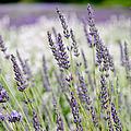 Lavender 2 by Rob Huntley