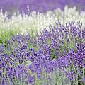 Lavender 4 by Rob Huntley