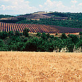 Lavender And Corn Fields In Summer by Panoramic Images