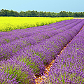 Lavender And Mustard by Brian Jannsen