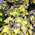 Lavender And Yellow Hydrangea by Elisabeth Ann