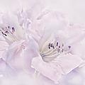Lavender Azalea Flowers by Jennie Marie Schell