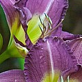 Lavender Beauties by Douglas Barnett