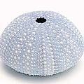 Blue Sea Urchin White by Jennie Marie Schell