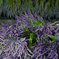 Lavender Bundles by Catherine Sherman