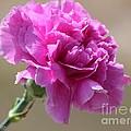 Lavender Carnation by J McCombie