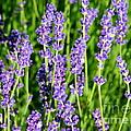 Lavender Dream by Carol Groenen