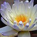 Lavender Edged Lotus by Maria Urso