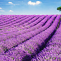 Lavender Field And Tree In Summer Provence France. by Matteo Colombo