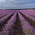 Lavender Field by Evgeni Ivanov