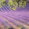 Lavender Field In France by Matteo Colombo