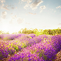 Lavender Field In Sunny Day by Brzozowska