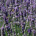 Lavender Field by Teresa Herlinger