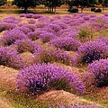 Lavender Fields 2 by Michelle Calkins