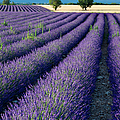 Lavender Fields by Brian Jannsen
