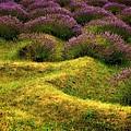 Lavender Fields by Michelle Calkins
