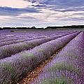 Lavender Fields by Rod McLean