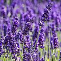 Lavender Fields by Ross G Strachan