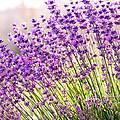 Lavender Flowers by Evgeni Ivanov