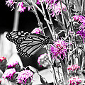 Lavender Flowers by Ms Judi