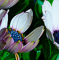 Lavender Frost African Daisy by Donna Brown