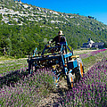 Lavender Harvest In Provence by Dany Lison