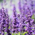 Lavender by Heike Hultsch