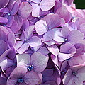 Lavender Hydrangea by Charlie and Norma Brock