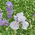 Lavender Iris by Iris Prints