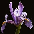 Lavender Iris by Juergen Roth
