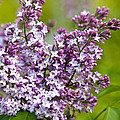 Lavender Lilacs by Christina Rollo