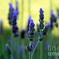 Lavender by Lynne Sutherland