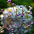 Lavender Mist Explosion by Byron Varvarigos