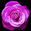 Lavender Rose by Aimee L Maher ALM GALLERY