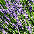 Lavender Square by Carol Groenen