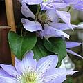 Lavender Star by Judy Palkimas